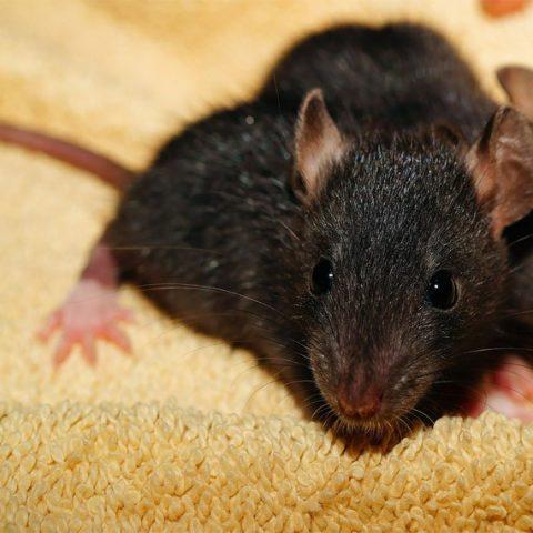 Rodents / Rat